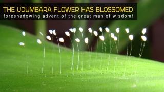 Расцвёл цветок думбара, что случается раз в 3000 лет!