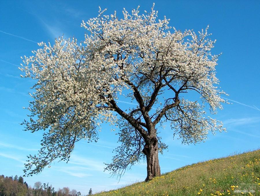 праздник Навруз-байрам, цветущее дерево