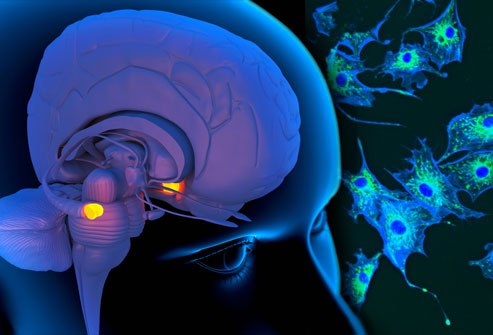миндалевидные тела головного мозга